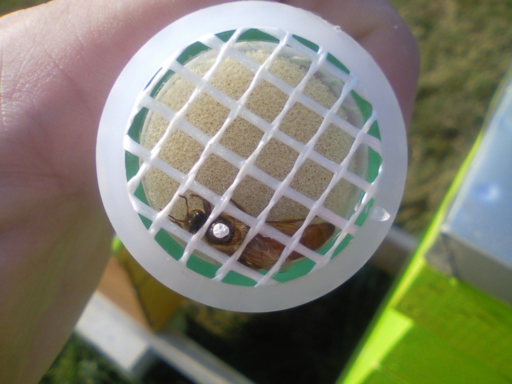 Queen Honey Bee Marked by using a Queen Marking Tube