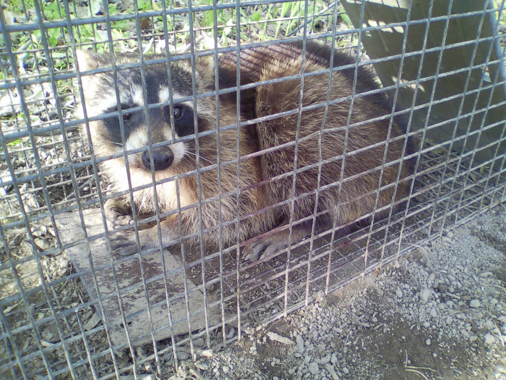 The Raccoon that Destroyed 3 of my top bar hives.