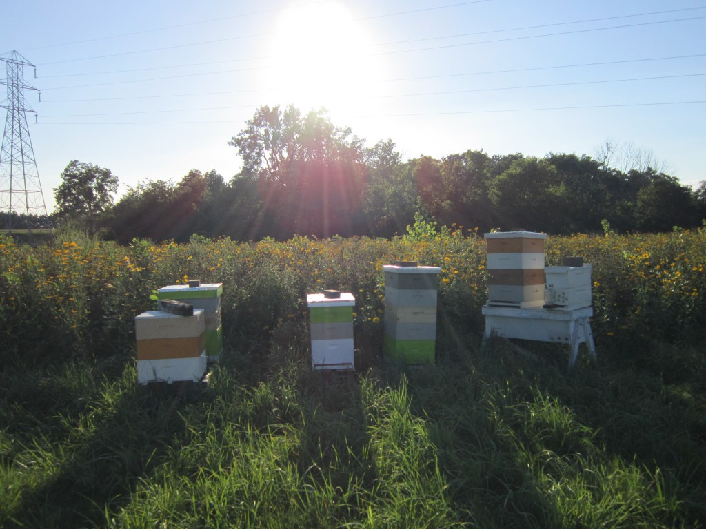 Hives located in my Findlay, Ohio Apiary. Field of flowers in full bloom. However, bees do not seem to be interested in collecting nectar for honey production. Slow year so far, no honey harvested.
